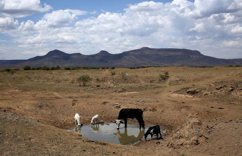 Livestock drink from a drying river outside Utrecht, a small town in the northwest of KwaZulu-Natal, South Africa, November 8, 2015. REUTERS/Siphiwe Sibeko