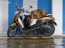 """Собаки на мотороллере в одном из районов Бангкока 3 ноября 2011 года. Компания Uber запустила сервис заказа мототакси """"uberMOTO"""", выбрав в качестве места для испытаний проекта известный своими пробками Бангкок. REUTERS/Chaiwat Subprasom"""