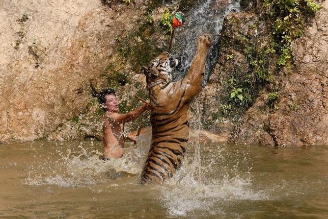 2月26日、トラと僧侶たちが共に暮らす仏教寺院タイガー・テンプル。タイ中西部カンチャナブリ市内から約40キロ離れた場所にある同寺院は現在、トラの飼育を存続させるために闘っている。25日撮影(2016年 ロイター/Chaiwat Subprasom)