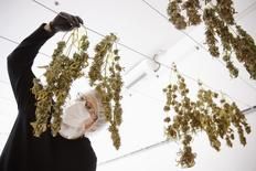 Director of Quality Assurance Thomas Shipley inspects drying marijuana plants before they are processed for shipping at Tweed Marijuana Inc  in Smith's Falls, Ontario, April 22, 2014.   REUTERS/Blair Gable