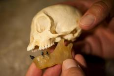 Placed in a wax jaw, fossil teeth belonging to Panamacebus transitus are compared with those of a modern female tufted capuchin, Cebus apella, in this picture courtesy of the Florida Museum of Natural History.  Florida Museum of Natural History/Kristen Grace/Handout via Reuters