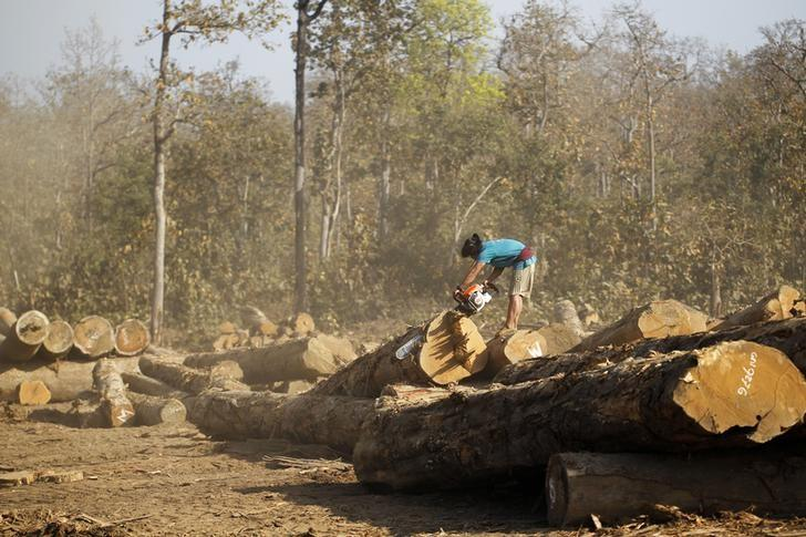 A man uses a chainsaw to cut teak logs in a logging camp in Pinlebu township, Sagaing, northern Myanmar, in this picture taken March 5, 2014.  REUTERS/Soe Zeya Tun