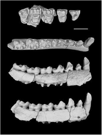 The left lower jaw of Yunnanadapis folivorus, one of six new fossil primate species found in southern China, is pictured in this undated handout photo.   Xijun Ni/Chinese Academy of Sciences/Handout via Reuters
