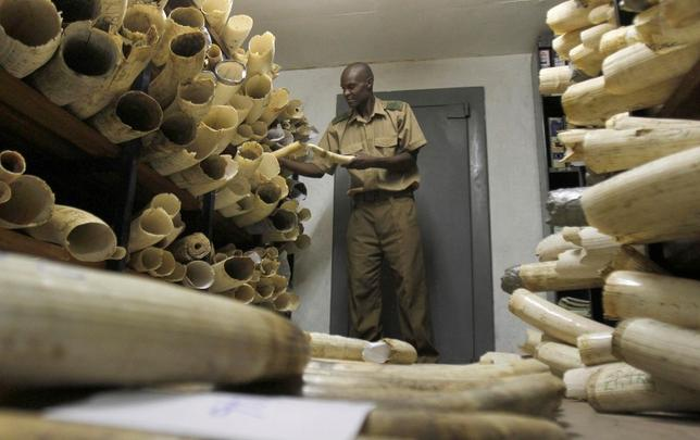 A Zimbabwe National Parks and Wildlife Management official checks ivory inside a storeroom in Harare August 22, 2012. REUTERS/Philimon Bulawayo