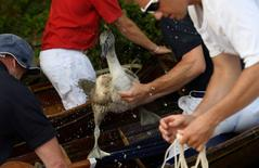 A cygnet, or young swan, is restrained whilst being examined during Swan Upping. REUTERS/Toby Melville