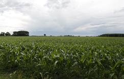 Un maizal en Estación Islas, Argentina, nov 25, 2012. El Departamento de Agricultura de Estados Unidos (USDA) elevó el viernes su estimación de la cosecha de maíz 2016/17 de Argentina a 36,5 millones de toneladas y redujo su pronóstico de producción de trigo 2016/17 del país austral a 14,4 millones de toneladas.  REUTERS/Enrique Marcarian