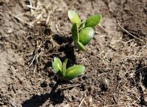 Uma muda recém plantada de soja é fotografada 27/11/2012 REUTERS/Enrique Marcarian