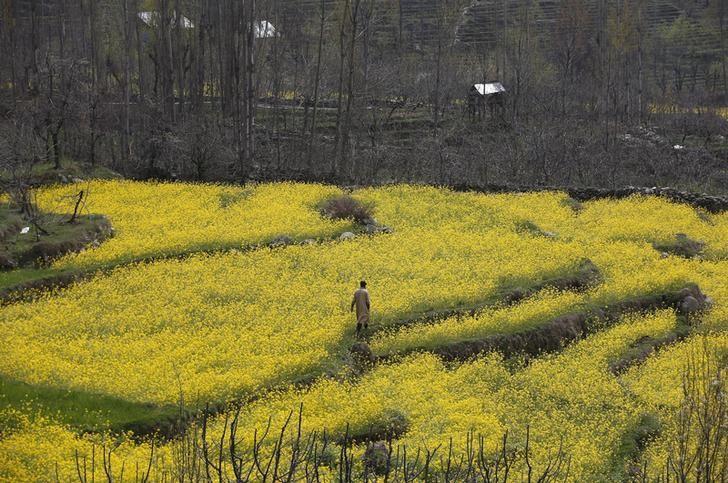 A Kashmiri man walks through a mustard field on the outskirts of Srinagar March 23, 2016. REUTERS/Danish Ismail/Files