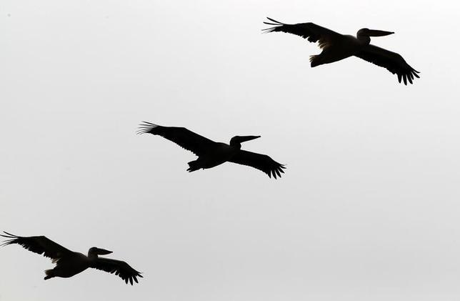 Three pelicans fly over a lake in the Danube delta near Crisan village, 410 km (255 miles) east of Bucharest September 19, 2012. REUTERS/Radu Sigheti