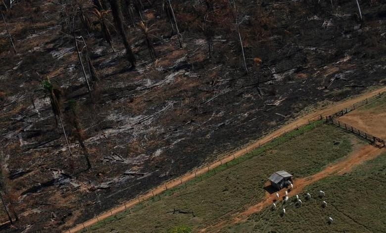 Cows graze on deforested Amazon rainforest, next to another tract recently cleared and burned, near the city of Novo Progresso, Brazil, September 23, 2013.  REUTERS/Nacho Doce/File Photo