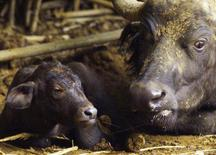 A Cape Buffalo rests with her newborn calf born at a zoo in Pretoria, South Africa, January 1, 2000. REUTERS/Juda Ngwenya/File Photo