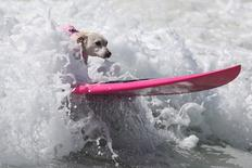 A dog rides a wave during the Surf City Surf Dog competition in Huntington Beach, California, U.S., September 25, 2016. REUTERS/Lucy Nicholson