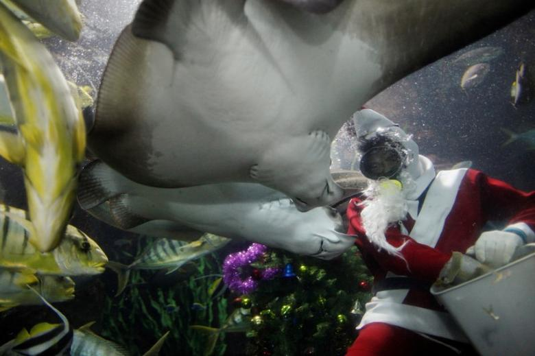Diver Philip Chan, dressed as Santa Claus, feeds fish during Christmas festivities at the Underwater World Singapore aquarium on the island of Sentosa, December 20, 2013. REUTERS/Edgar Su/File Photo