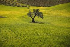 La agencia Moody's rebajó el martes la calificación de Deoleo a 'Caa1' desde 'B3', con perspectiva negativa, hundiendo más la deuda del grupo aceitero en terreno especulativo. En la imagen de archivo, un olivo en una finca a las afueras de Ronda, Málaga, el 9 de abril de 2014. REUTERS/Jon Nazca