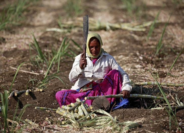Sweet paradox: India's drought-stricken farmers plant thirstiest crop