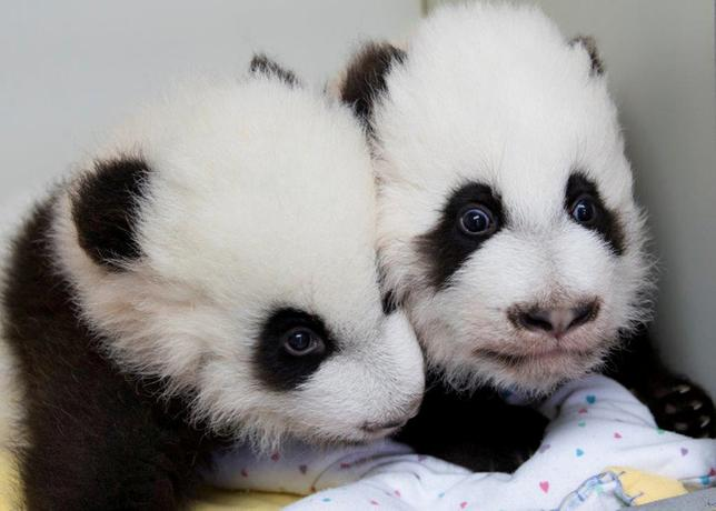 Giant panda twins Ya Lun and Xi Lun are seen in this handout photo provided December 12, 2016.  Courtesy of Zoo Atlanta/Handout via REUTERS    ATTENTION EDITORS - THIS IMAGE WAS PROVIDED BY A THIRD PARTY. EDITORIAL USE ONLY. NO RESALES. NO ARCHIVE.