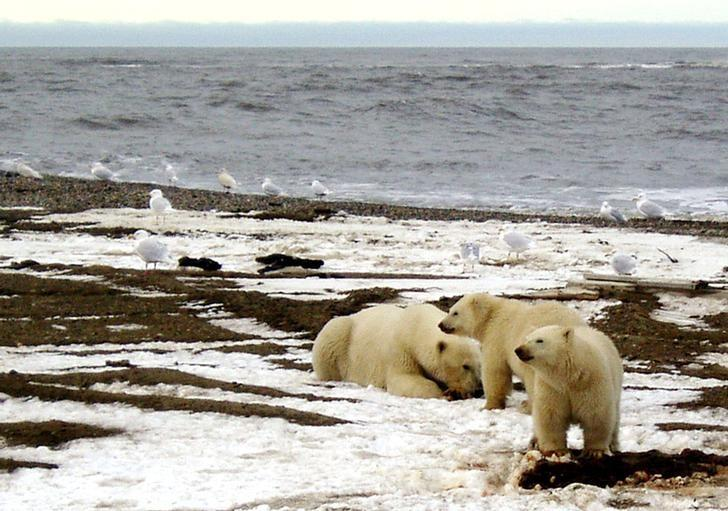A polar bear sow and two cubs are seen on the Beaufort Sea coast within the 1002 Area of the Arctic National Wildlife Refuge in this undated handout photo provided by the U.S. Fish and Wildlife Service Alaska Image Library on December 21, 2005.  U.S. Fish and Wildlife Service/Handout via REUTERS/File Photo