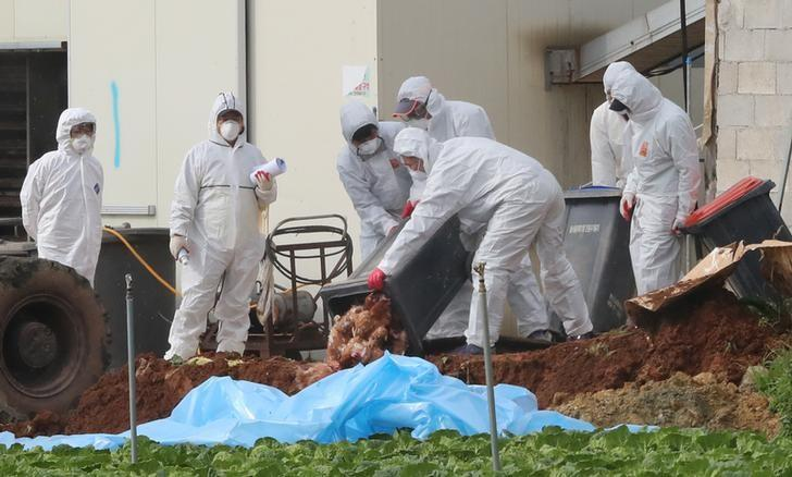 South Korean health officials bury chickens at a poultry farm where the highly pathogenic H5N6 bird flu virus broke out in Haenam, South Korea, November 17, 2016. Picture taken on November 17, 2016. Yonhap/via REUTERS