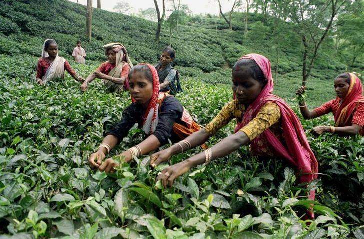 Women pluck green leaves at a tea garden in Bangladesh's northeastern Sylhet district November 12, 1998. Reuters/Files