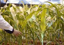 En la imagen se observa maíz natural y maíz genéticamente modificado en el Centro de Biotecnología Syngenta en Beijing, China, 19 de febrero 2016. China reducirá más el área de siembra de maíz el próximo año a zonas de baja productividad para ayudar a reducir los excesivos inventarios del cereal, reportó el lunes una radio estatal, citando al ministro de Agricultura del país. REUTERS/Kim Kyung-Hoon/File Photo - RTX2MIJB