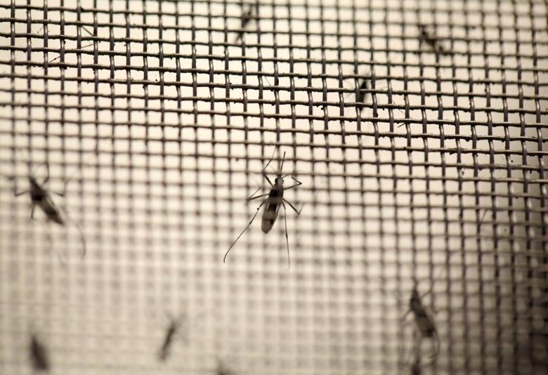 Aedes aegypti mosquitoes are seen at the Laboratory of Entomology and Ecology of the Dengue Branch of the U.S. Centers for Disease Control and Prevention in San Juan, Puerto Rico, March 6, 2016.  REUTERS/Alvin Baez/File Photo