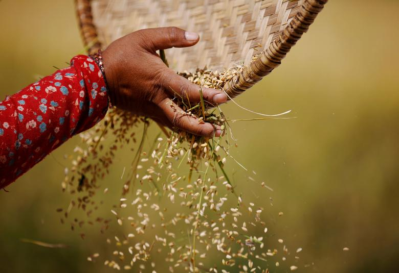 FILE PHOTO:  The hand of a farmer is pictured as she harvests rice on a field in Lalitpur, Nepal, October 26, 2016.      REUTERS/Navesh Chitrakar /File Photo