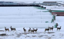 Deer gather at a depot used to store pipes for Transcanada Corp's planned Keystone XL oil pipeline in Gascoyne, North Dakota, January 25, 2017.  REUTERS/Terray Sylvester