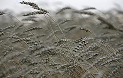 Пшеница на ферме у деревни Лакино к северу от Красноярска 24 сентября 2013 года. Под угрозой из-за холодной погодой оказались 650.000 гектаров озимых, сообщил представитель Минсельхоза РФ в среду. REUTERS/Ilya Naymushin