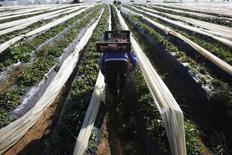 La Unión Europea prometió el martes mantener un acuerdo agrícola con Marruecos, tratando de asegurar a Rabat que el pacto no estaba en peligro por una sentencia europea que dice que los acuerdos comerciales del país no tienen validez sobre la disputada región de Sáhara Occidental. En la imagen, un agricultor recoge fresas que serán exportadas en Moulay Bousselham , provincia de Kenitra, el 15 de marzo de 2014. REUTERS/Youssef Boudlal