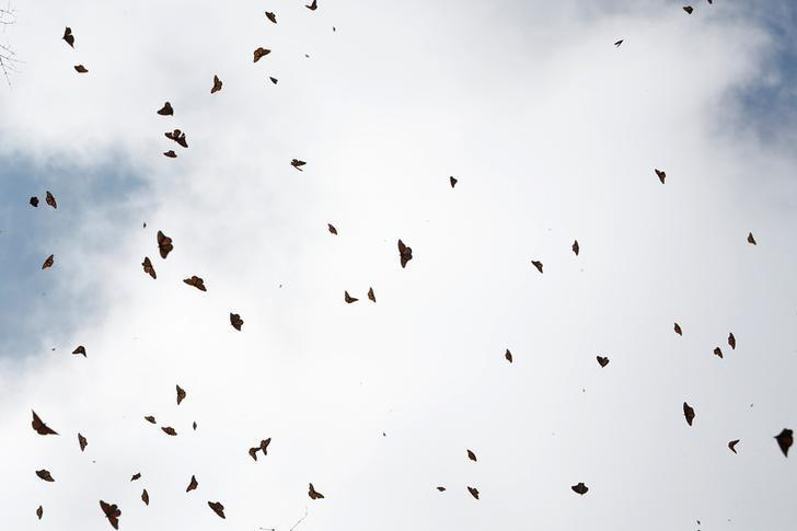 Monarch butterflies fly at the Sierra Chincua butterfly sanctuary on a mountain in Angangeo, Michoacan November 24, 2016.  REUTERS/Carlos Jasso/Files