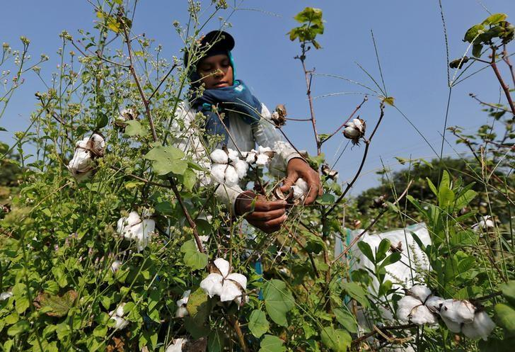 A worker harvests cotton in a field on the outskirts of Ahmedabad, India, October 24, 2016. REUTERS/Amit Dave/Files