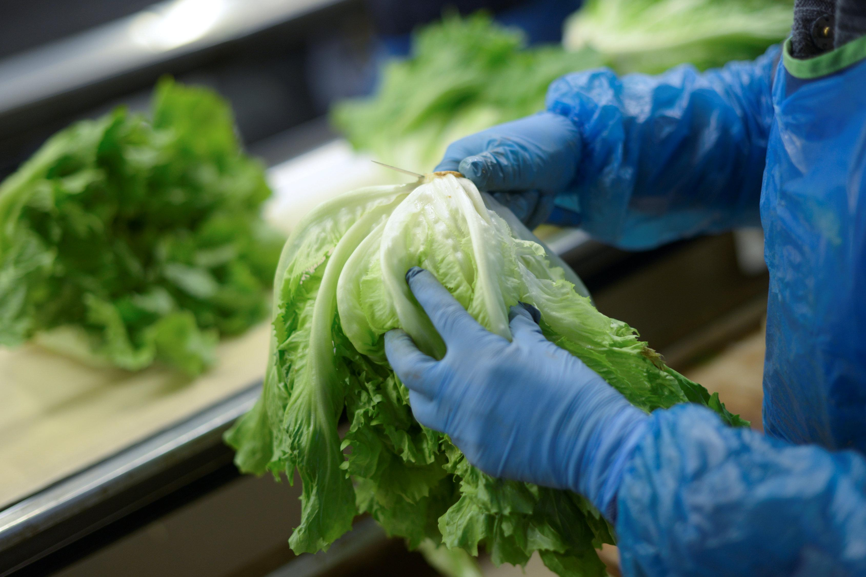 Spanish lettuce shortage likely to continue into March, say farmers