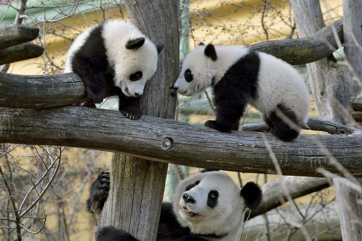 Giant Panda cubs Fu Feng and Fu Ban, which were born on August 7, 2016, are seen with their mother, Yang Yang, in this handout photograph dated February 27, 2017, released on February 28, 2017, at Schoenbrunn Zoo in Vienna, Austria. Schoenbrunn Zoo/Norbert Potensky/Handout via REUTERS