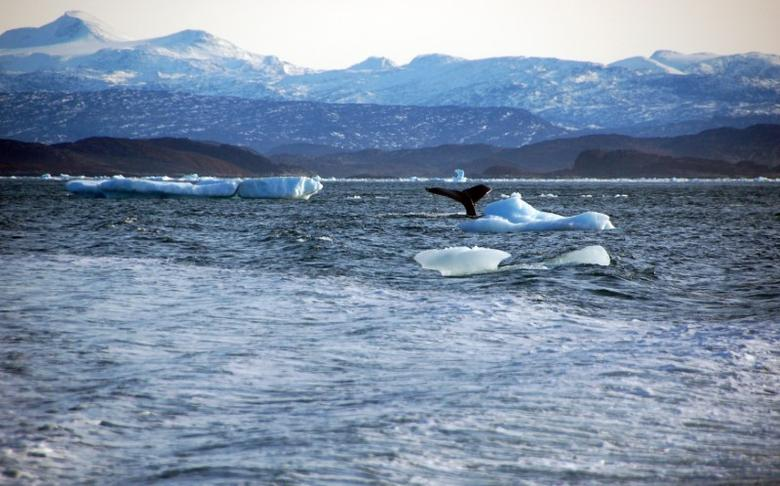 FILE PHOTO: A whale dives into sea off the coast of Greenland's capital Nuuk October 17, 2012.     REUTERS/Alistair Scrutton