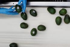 Un empleado revisa unos aguacates en la planta de Global Fruit Packing en Uruapan, México, ene 31, 2017. México lanzó el miércoles una queja en la Organización Mundial de Comercio sobre restricciones impuestas por Costa Rica a las importaciones de aguacate, dijo la OMC en un comunicado.  REUTERS/Carlos Jasso