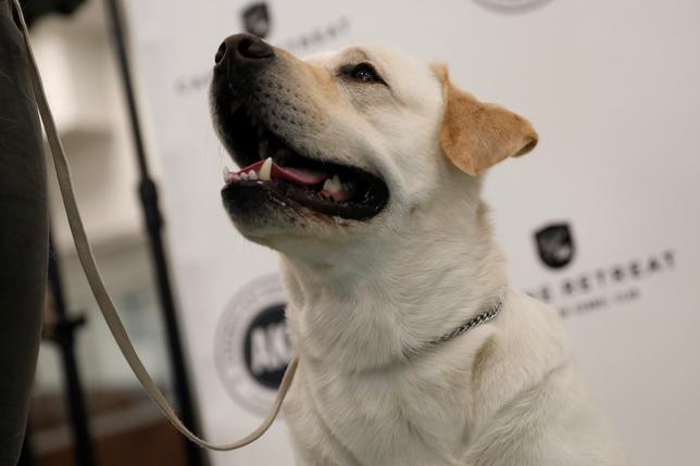 3月21日、米国ケンネル・クラブ(AKC)が発表した2016年の人気犬種ランキングで、時々がさつだが人懐っこい性格のラブラドールレトリバー(写真)が26年連続でトップとなり、最長記録を更新した(2017年 ロイター/Mike Segar)