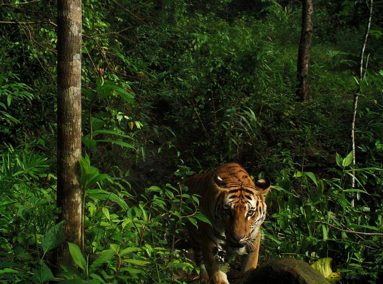 A female tiger looks on after spotting a camera trap set by Thailand's Department of National Parks, Wildlife and Plant conservation (DNP), Freeland, at a forest in Eastern Thailand, in this undated handout photo. DNP/Freeland Handout via REUTERS