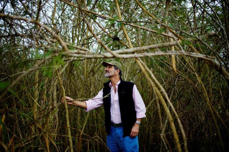 Cuban-British joint venture Biopower President Andrew Macdonald, from Scotland, checks marabou trees in Ciro Redondo, Cuba, February 9, 2017. Picture taken on February 9, 2017. REUTERS/Alexandre Meneghini