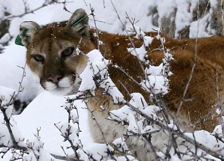 A mountain lion makes its way through fresh snow in the foothills outside of Golden, Colorado April 3, 2014. REUTERS/Rick Wilking