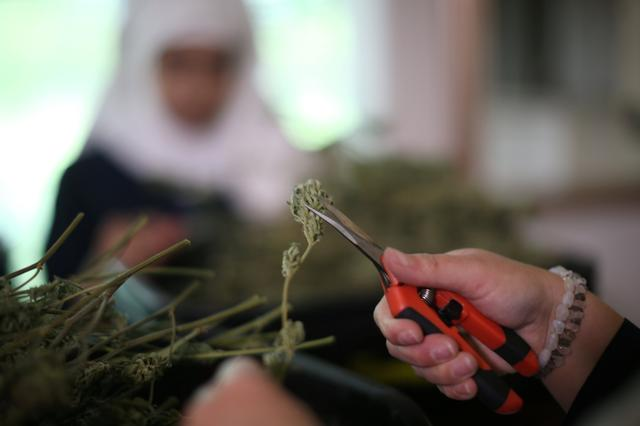 California ''weed nun'' Desiree Calderon, who goes by the name Sister Freya, trims hemp in the kitchen at Sisters of the Valley near Merced, California, U.S., April 18, 2017.REUTERS/Lucy Nicholson