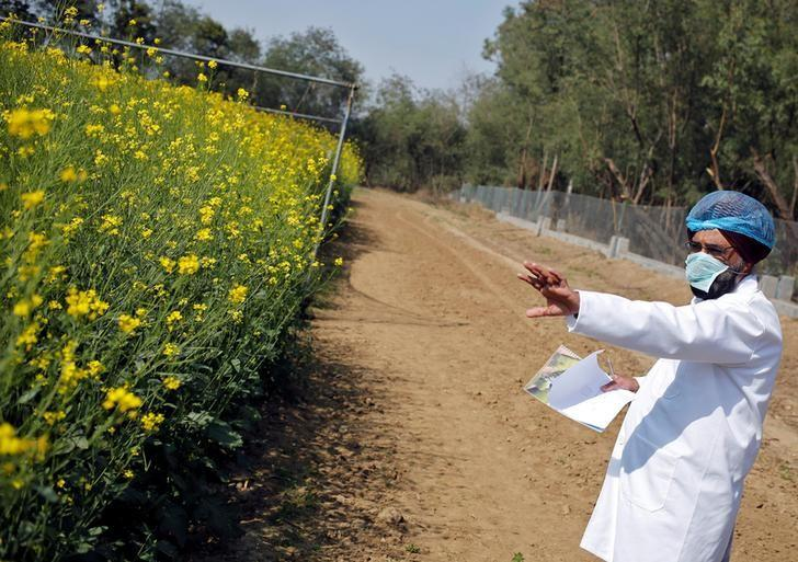An Indian scientist points to a patch of genetically modified (GM) rapeseed crop under trial in New Delhi February 13, 2015.  REUTERS/Anindito Mukherjee/File Photo