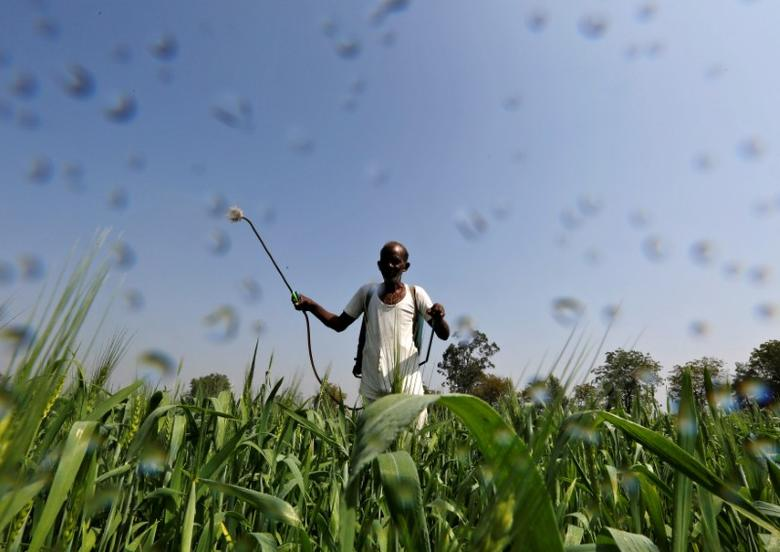 FILE PHOTO: A farmer sprays a mixture of fertilizer and pesticide onto his wheat crop on the outskirts of the western Indian city of Ahmedabad February 18, 2015.   REUTERS/Amit Dave/File Photo