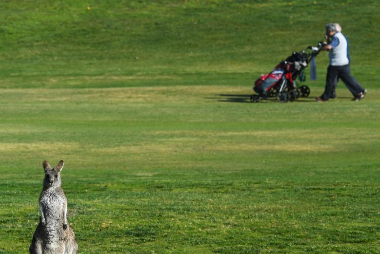 A kangaroo looks on as golfers walk down the first fairway at Gold Creek Golf Club in Canberra, Australia, May 17, 2017. AAP/Lukas Coch/via REUTERS