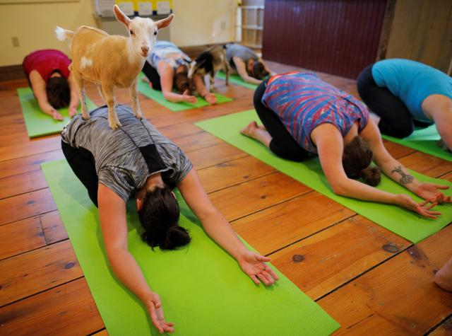 A goat climbs on Kylie Kennedy during a yoga class with eight students and five goats at Jenness Farm in Nottingham, New Hampshire, U.S., May 18, 2017.  Picture taken May 18, 2017.    REUTERS/Brian Snyder