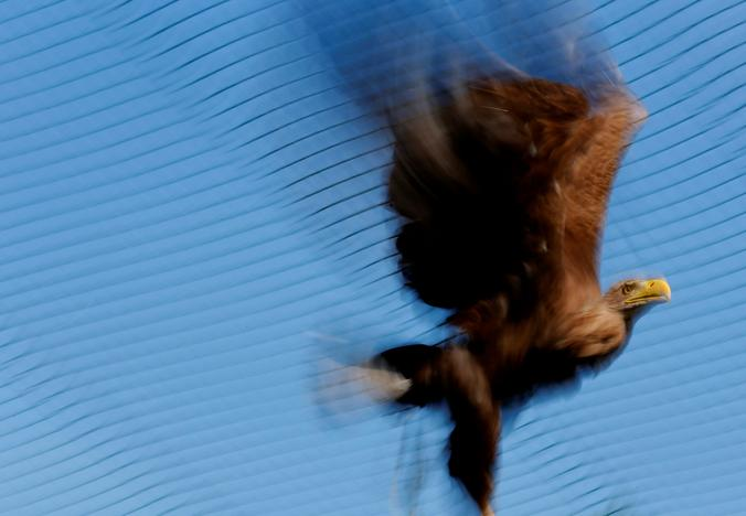 An eagle flies in an outdoor recovery center at a hospital for wild birds in Hortobagy National Park, Hungary June 27, 2017. Laszlo Balogh