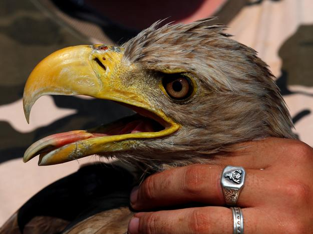 An injured eagle is being examined at a hospital for wild birds in Hortobagy National Park, Hungary June 27, 2017. Laszlo Balogh