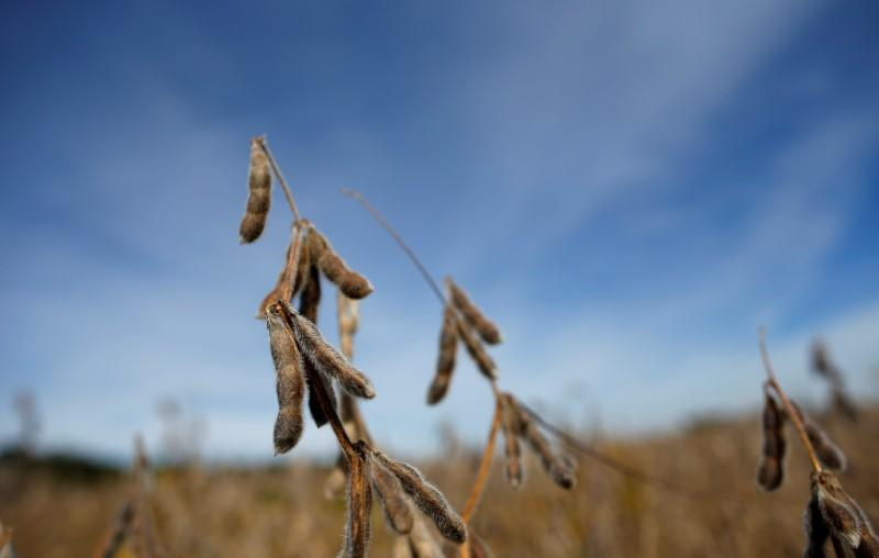 Soybeans are seen in a field waiting to be harvested in Minooka, Illinois, September 24, 2014. Jim Young