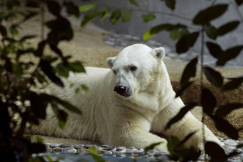 Inuka the polar bear looks out from his enclosure at the Singapore Zoological Gardens February 25, 2004. David Loh