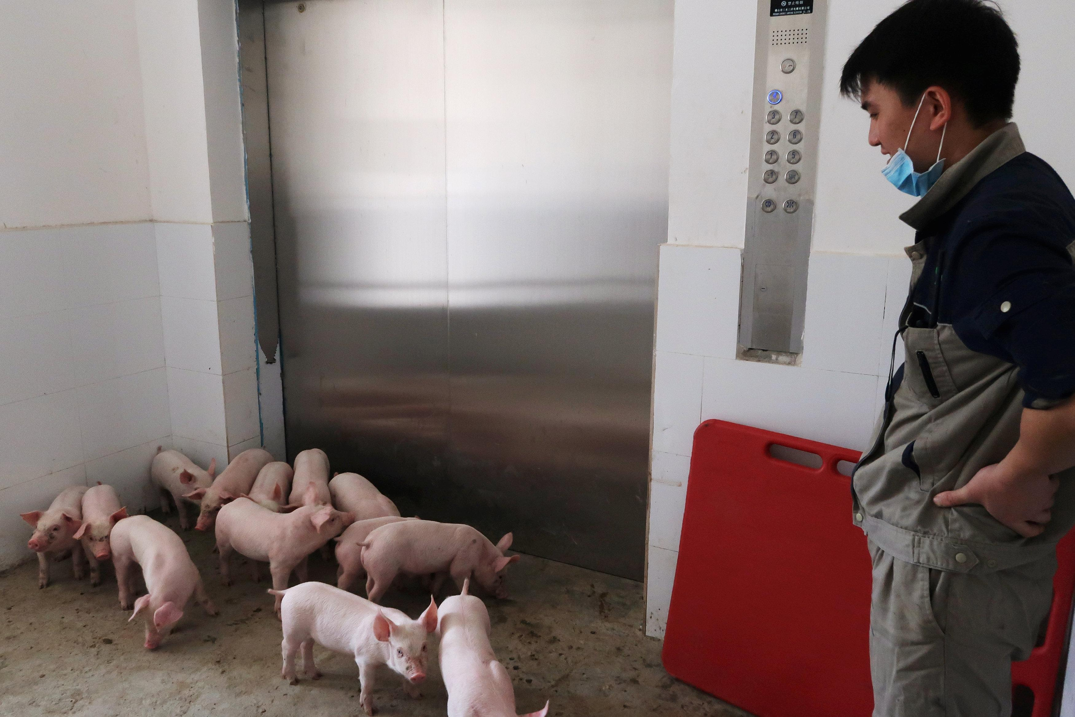 A worker waits for an elevator to transport young pigs out of Guangxi Yangxiang