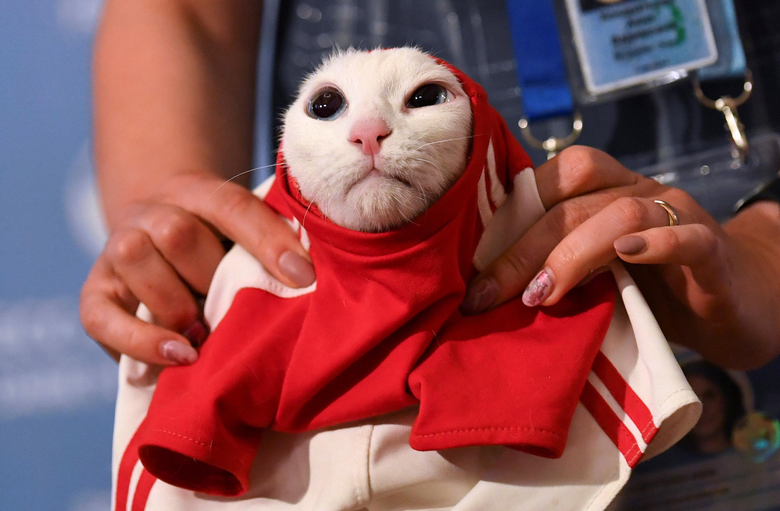 A participant dresses Achilles the cat, one of the State Hermitage Museum mice hunters, which attempts to predict the result of the opening match of the 2018 FIFA World Cup between Russia and Saudi Arabia during an event in Saint Petersburg, Russia June 13, 2018. Dylan Martinez